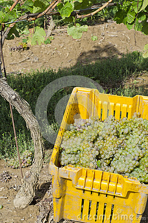 Harvested Riesling Wine Wine Grapes #2