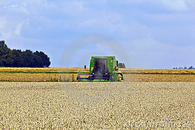 Harvester in corn fields