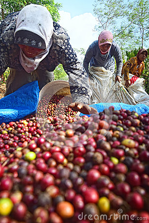Free Harvesting COFFEE IN INDONESIA Royalty Free Stock Photography - 58517577