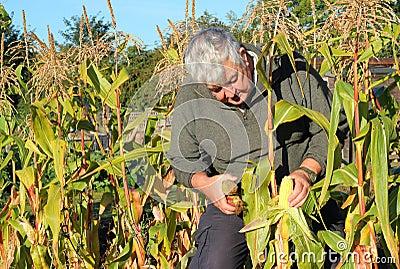 Harvesting corn on the cob.