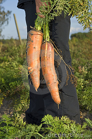 Harvesting fresh carrots