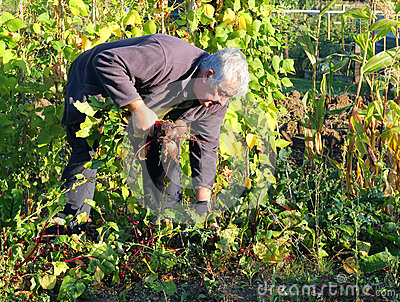 Harvesting fresh organic beetroot.