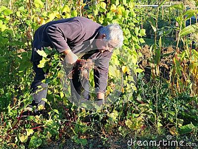 Harvesting fresh organic beetroot.