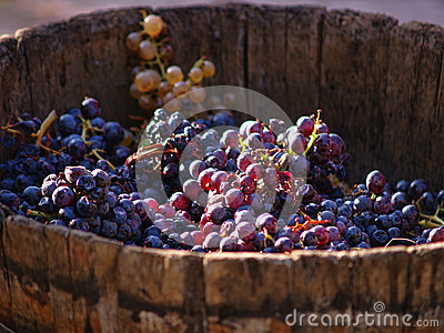 Harvesting grapes. Editorial Photography