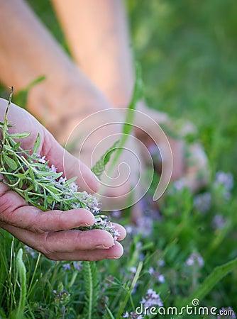 Harvesting medicinal plants