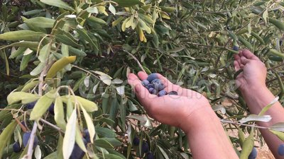 Harvesting olives season. A female harvesting black olives manually  from a tree in a farm stock footage