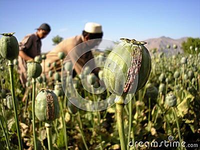 Harvesting Opium, East Afghanistan Editorial Image