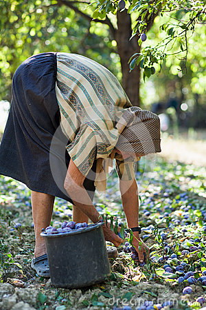 Harvesting plums