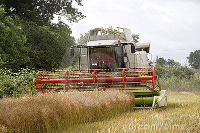 Harvesting the rape seed field