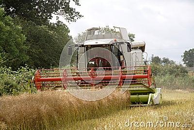 Harvesting the rape seed field