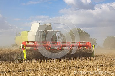 Harvesting rapeseed in a combine