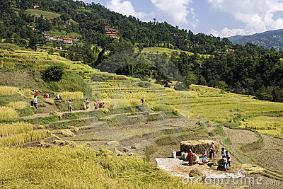 Harvesting rice - Kathmandu Valley - Nepal Editorial Stock Photo