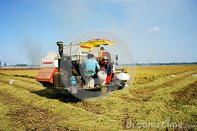Harvesting ripe rice on paddy field Editorial Image