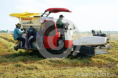 Harvesting ripe rice on paddy field Editorial Stock Photo
