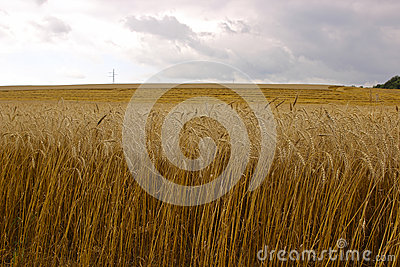 Harvesting ripe rye ears in a field