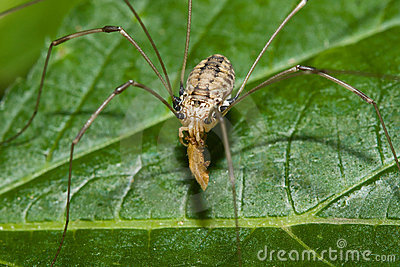 Harvestman eating a Bug