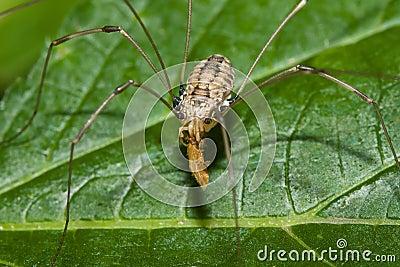 Harvestman eating a Bug