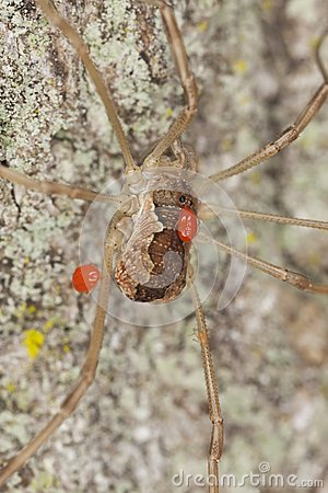 Harvestman with parasites