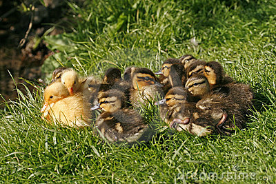 Hatchling of a duck, Mallard