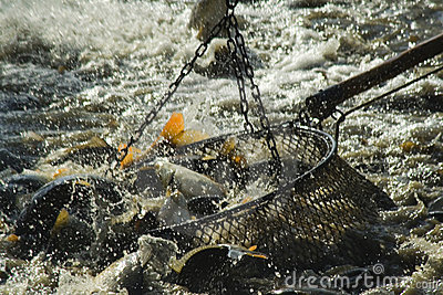 Haul fishs