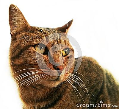 Haus-Katze