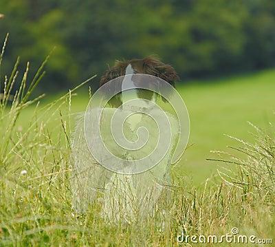 Haustiertrauerfall-Engelshund