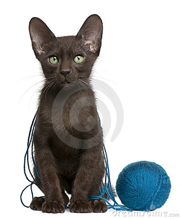 Havana Brown kitten with ball of blue yarn