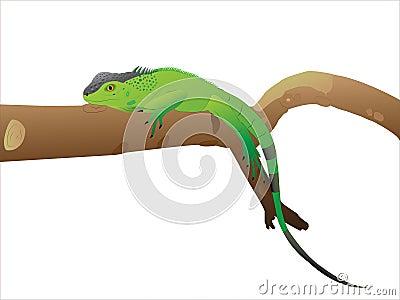 The having a rest Iguana.