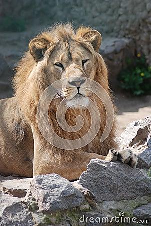 Having a rest lion