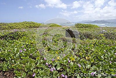 Hawaii Beach with Purple Pohuehue Flowers