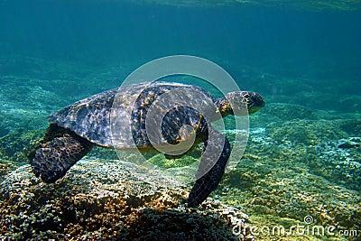 Hawaii Green Sea Turtle