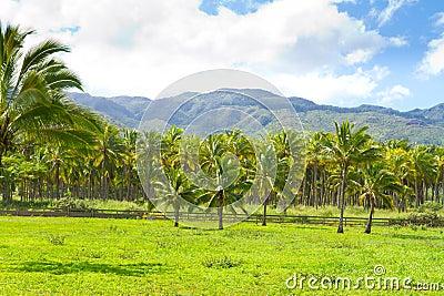 Hawaii Palm Tree Coconut Farm