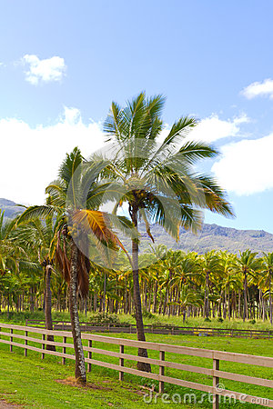 Hawaii Palm Tree Coconut Farm