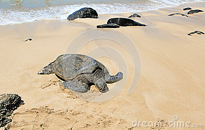 Hawaii Green Sea Turtles Editorial Stock Photo