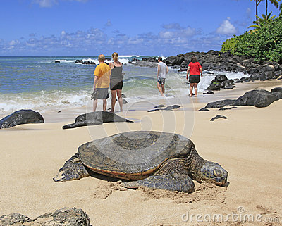 Hawaii Green Sea Turtles Editorial Image