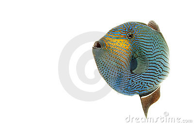 Hawaiian Black Triggerfish