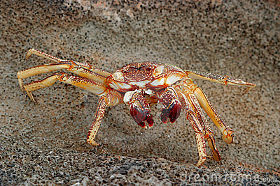 Hawaiian crab