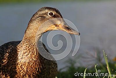 Hawaiian Duck