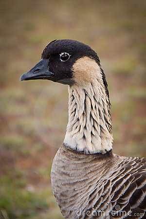 Hawaiian Goose - Nene - Closeup