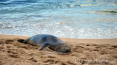 Hawaiian Monk Seal Lounging on Beach