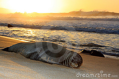 Hawaiian Monk seal resting