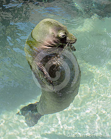 Hawaiian Monk Seal at Waikiki Aquarium