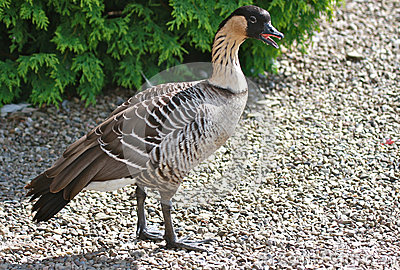 Hawaiian Nene Goose