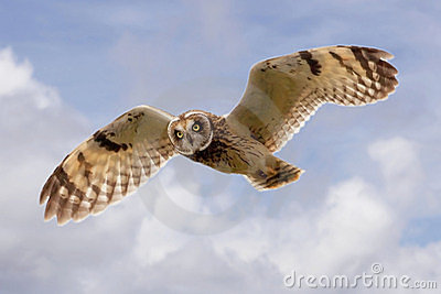 Hawaiian Owl (Pueo) In Flight