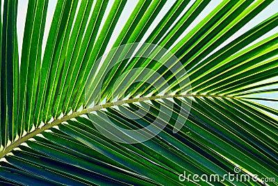 Hawaiian Palm Leaf