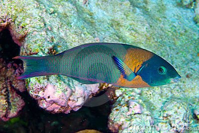 Hawaiian saddled wrasse