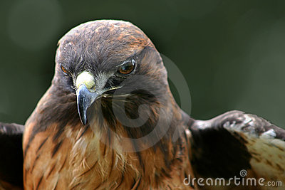 Hawk -1