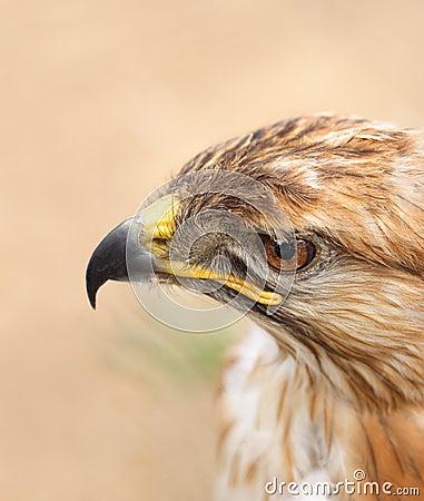 Free Hawk Royalty Free Stock Image - 2509486