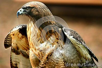 Hawk -3