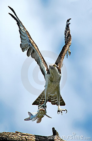 Hawk with Captured Catfish